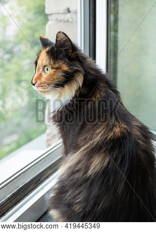 Domestic Long-haired Three-color Orange-black-and-white Cat Is Sitting Near Opened Window And Lookin