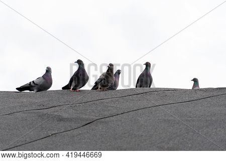 Wild Pigeons On The Roof. Black And Gray Pigeons Sit On The Roof Against The Gray Sky
