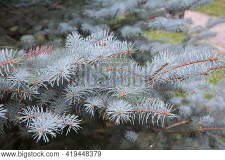Colorado Blue Spruce Texture. Branches Of A Blue Spruce Tree With Silvery-blue Needles.