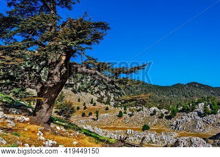 Big Old Pine Trees In The Mountains A Sunny Summer Dno