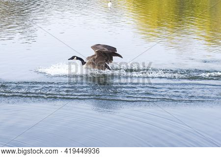 A Goose Lands From Flying Into A Lake Of Calm Water