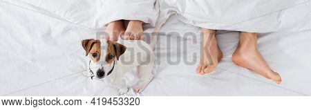 Top View Of Barefoot Couple Under Blanket Lying Near Jack Russell Terrier On Bed, Banner.
