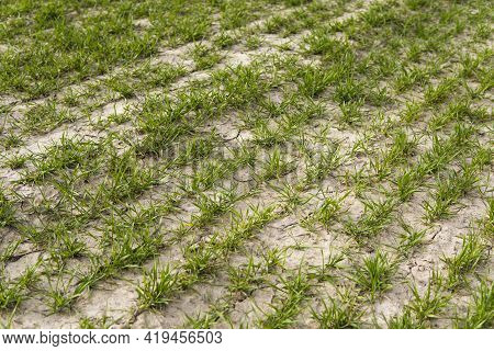 Young Green Wheat Seedlings Growing In Soil On A Field. Close Up On Sprouting Rye On A Field. Sprout