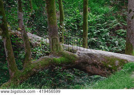 Fallen Tree Trunk As A Bridge Over A Ravine In The Forest  Botanical Garden, Batumi, Georgia