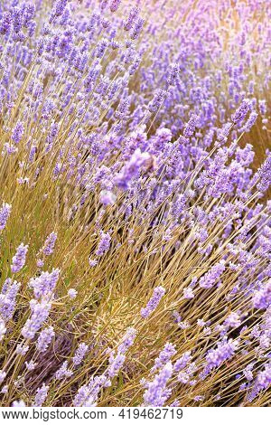 Close-up On Mountain Lavender On Hvar Island In Croatia. Lavender Swaying On Wind Over Sunset Sky, H