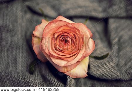 Pink Rose On A Knitted Fabric. The Concept Of Minimal Nature. Flat Layout, Top View
