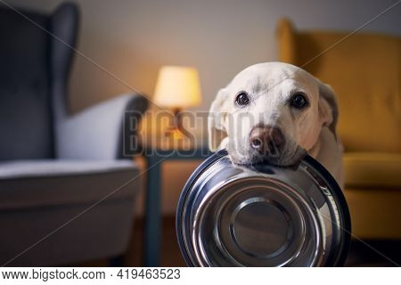 Hungry Dog With Sad Eyes Is Waiting For Feeding At Home. Cute Labrador Retriever Is Holding Dog Bowl