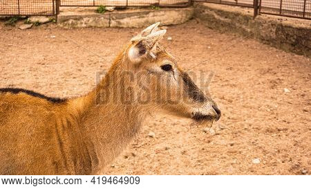 A Female Deer At The Zoo. Deer On A Background Of Sand. Summer Photo At The Zoo.