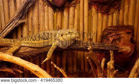 Reptile In The Terrarium. Animals In The Zoo. Reptile Resting On A Branch