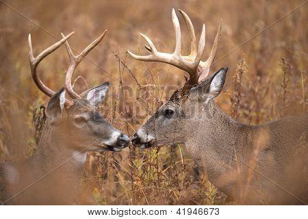 Two White-tailed Deer Bucks