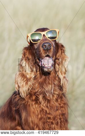 Funny Panting Cute Happy Irish Setter Pet Dog Smiling With Sunglasses In Summer