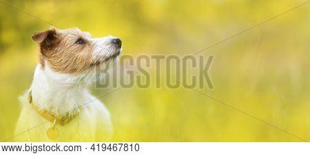 Head Of A Cute Happy Pet Dog Puppy Listening Ears In A Yellow Herb Flower Field In Summer. Web Banne