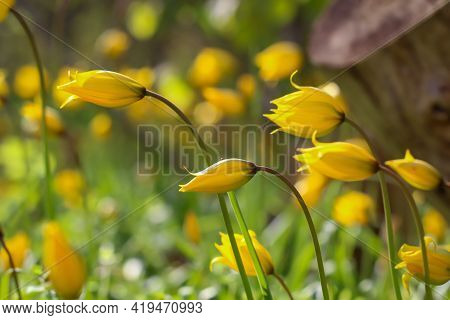 Lots Of Wild Tulips In A Meadow. The Wild And Ancient Tulips Are All Yellow In Color.