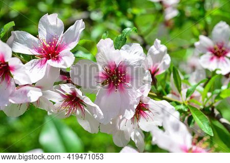 Almond Blossom Spring Background. Beautiful Pink Spring Tender Flowers . Spring Time . Pink Sharp An