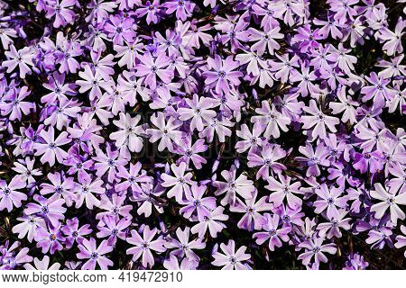 Phlox Subulata - Creeping Phlox, Moss Phlox, Moss Pink, Or Mountain Phlox