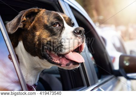 Cute And Adorable Female Boxer Dog With Face Out The Car Window For Fresh Air. Image Taken In Vancou