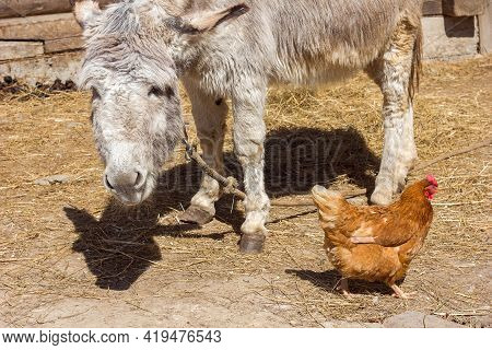 Donkey And Chicken In A Farm Yard Or Zoo, Pets In The Countryside