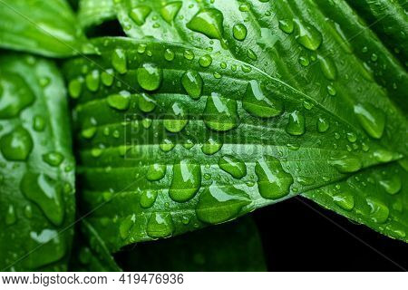 Macro Photography Of The Fresh Green Glossy Leafs With Rain Drops.fresh Spring Foliage With Water Dr