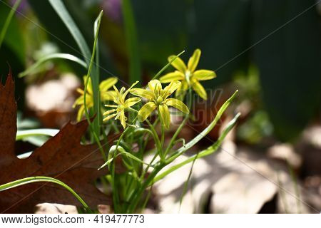Spring Sunny Day. The Gagea Blossomed In Small Yellow Flowers Among The Fallen-down Brown Leaves Of