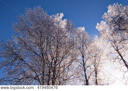 Clear, Cold Early Morning Hoar Frosted Birch Trees Winter Scene.