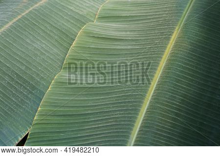 Banana Leaf Close Up. Texture Tropical Banana Plant Leaf In Tropic Jungle Climate. High Quality Phot