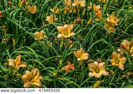 A Grouping Of Vibrant Peach Color Daylilies In Full Bloom Surrounded By The Foliage On A Bright Sunn