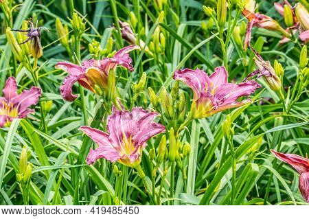 Grouping Of Magenta Or Deep Pink Daylilies With Ruffled Petals Planted In A Flowerbed In A Garden On