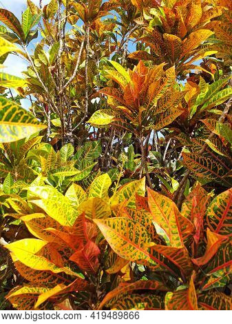 Croton Codiaeum Variegatum Tropical Plant With Colorful Leaves In A Tropical Garden In The French We