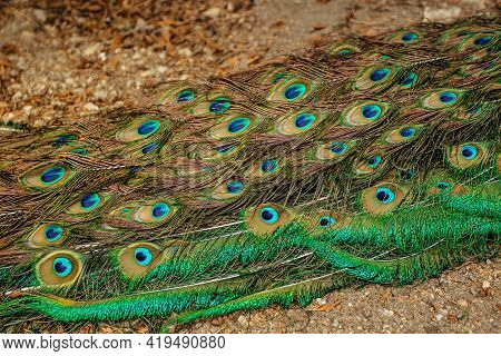 Peacock Feathers Closeup.blue Indian Peacock, Pavo Cristatus, With Colorful Iridescent Tail And Meta