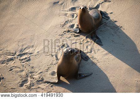 Fur Seals On Rocky Shore Of Beach. Arctocephalus Forsteri. Fur Seal In The Sand Portrait.