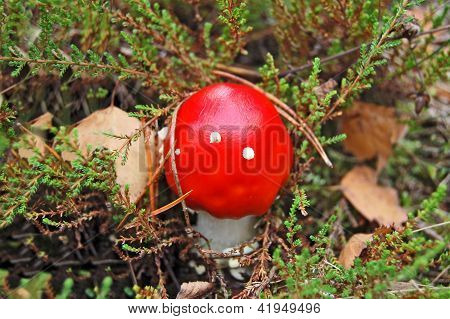 Amanita muscaria in forest