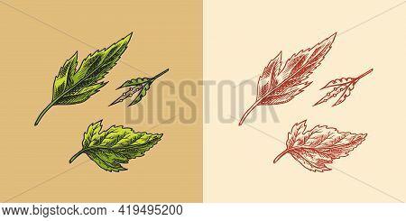 Mustard Plant. Condiment. Green Leaves. Harvest Concept. Illustration For Vintage Background Or Post