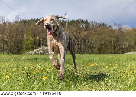Purebred Weimaraner Dog Outdoors In The Nature On Grass Meadow On A Spring Day. Hound. The Dog Runs