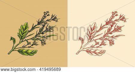 Mustard Plant. Condiment. Harvest Concept. Illustration For Vintage Background Or Poster. Engraved H
