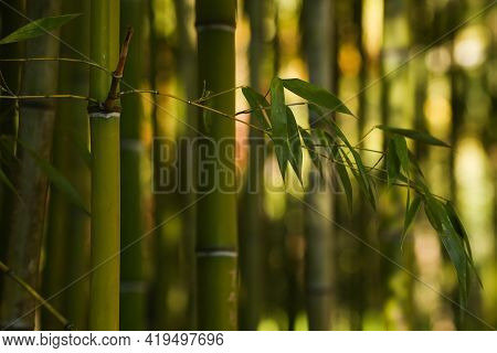 Close-up Of Bamboo Trunk And Leaves. Bamboo Forest Selective Focus, Sunlight In The Distance.