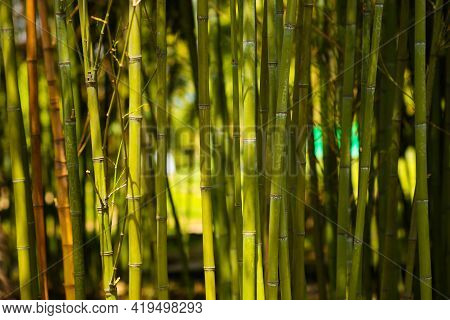 Bamboo Trunk And Leaves. Bamboo Forest Selective Focus, Sunlight In The Distance.