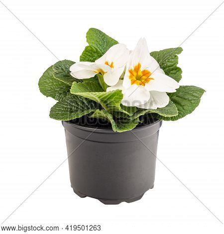 Potted White Primrose In Blossom Isolated On White Background