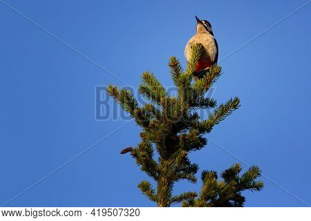 The Great Spotted Woodpecker Is A Medium-sized Woodpecker With Pied Black And White Plumage And A Re