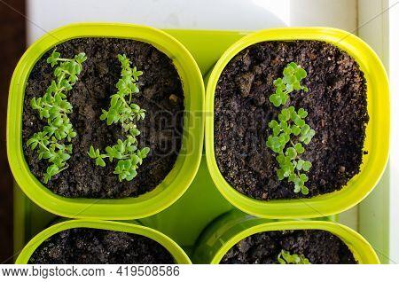 Planting Seedlings Indoors. Homemade Arugula, Radish, Basil In Plastic Pots. Healthy Organic Food Co