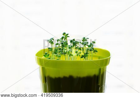 Planting Seedlings Indoors. Healthy Organic Food Concept. Gardening On A Balcony Or Greenhouse In Ea