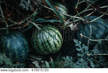 Green Watermelon Growing In The Garden On The Ground Damp From Rain. Small Watermelon. Dark Green. S