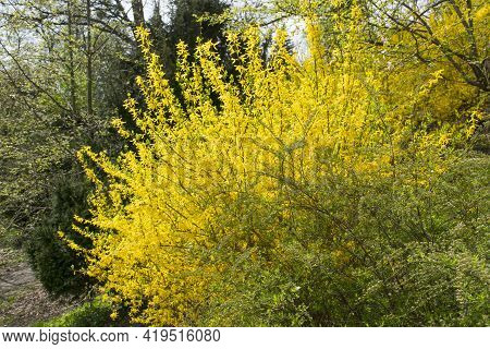Forsythia Flowers In Front Of With Green Grass And Dark Green Bushes. Golden Bell, Border Forsythia