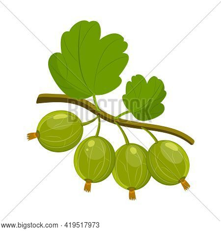 Vector Illustration Of A Ripe Gooseberry Isolated On A White Background.