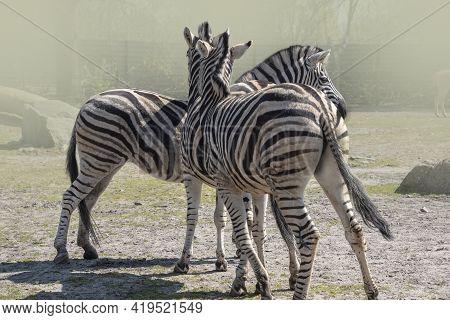 Three Plains Zebra (equus Quagga, Formerly Equus Burchellii), Also Known As The Common Zebra Or Burc