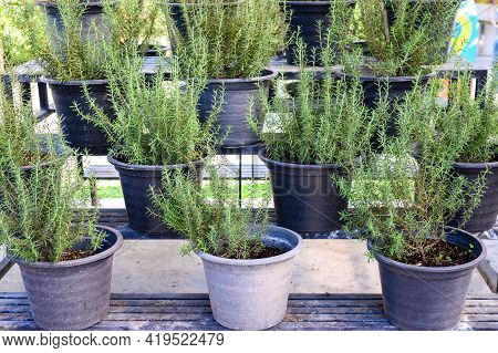 A Pot Of Rosemary Herb Plating In The Garden. Rosemary Is Evergreen Plant Of The Mint Family The Lea