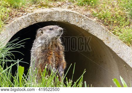 Close Up Isolated Image Of A Groundhog (marmota Monax) At The Entrance Of A Concrete Rain Drain Pipe