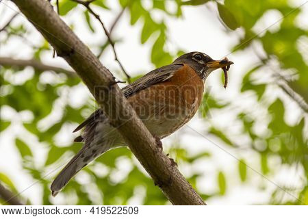 Low Angle Closeup Image Of An Eastern Robin Subspecies Of American Robin (turdus Migratorius) Perchi