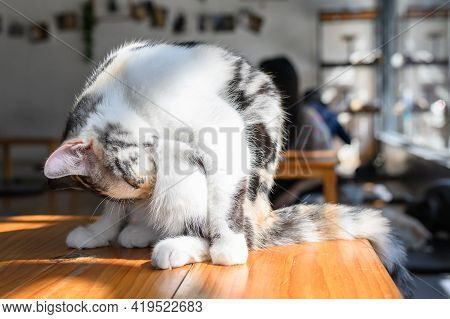 A Cute Cat Lick Their Hair In Cat Cafe. Cat Cafe Is A Theme Cafe Whose Attraction Is Cats That Can B
