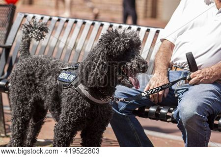 Close Up Image Of A Black Poodle Service Dog, Specially Trained To Help And Elderly Caucasian Man Wi