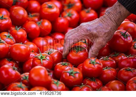 Close-up Of An Elderly Man Picking Tomatoes At The Market.  Fresh Tomatoes Variety Grown In The Shop